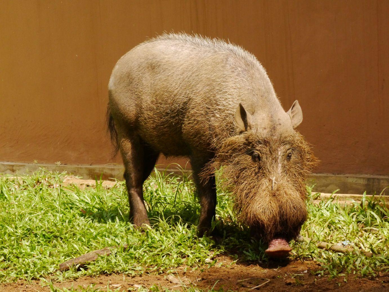 Bartschwein in freier Wildbahn